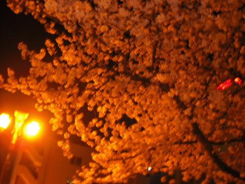 夜桜ぽん。